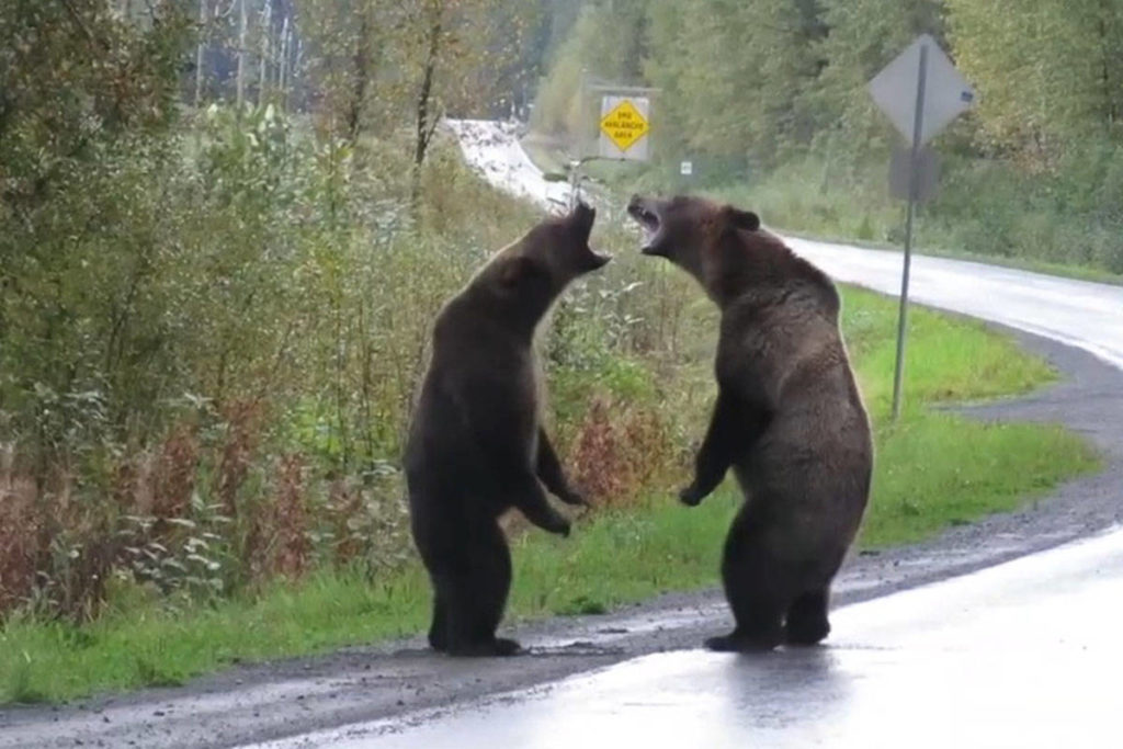 VIDEO: Grizzly bears fight along northern BC highway in rare footage - Goldstream News Gazette