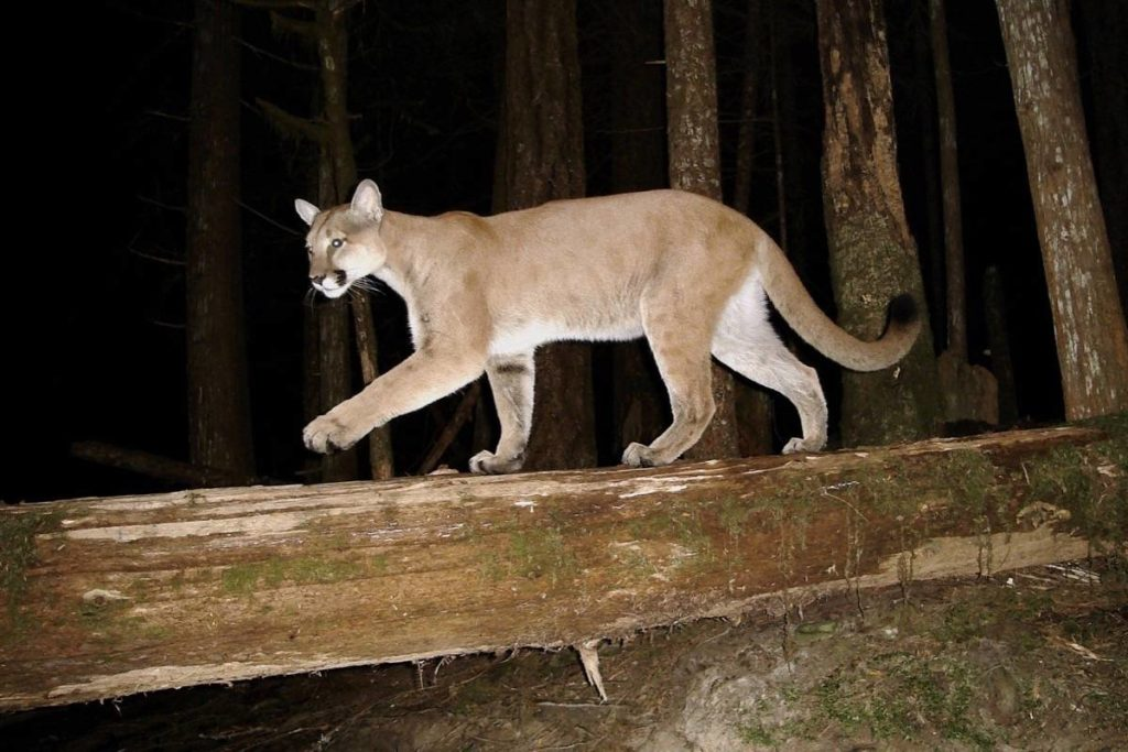 Previous story Sooke workshop shows you how to discover animal signs in the forest - Goldstream News Gazette